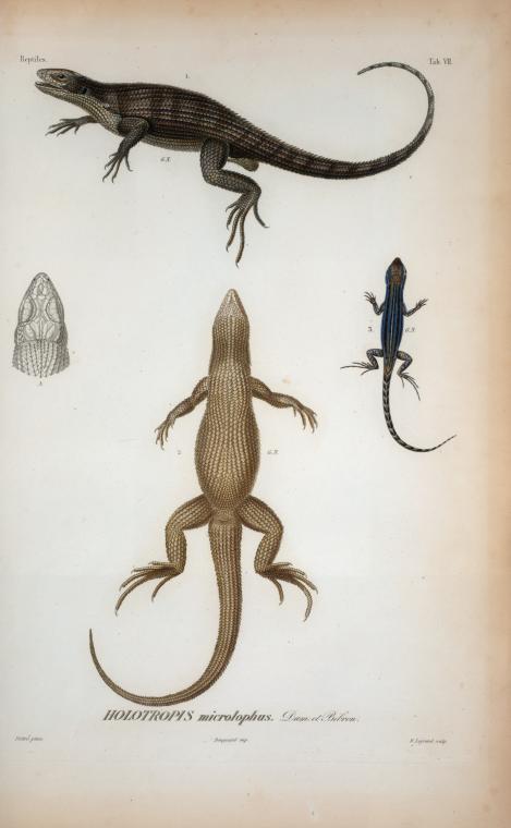Holotropis-MicrolophusDum-et-Bibron
